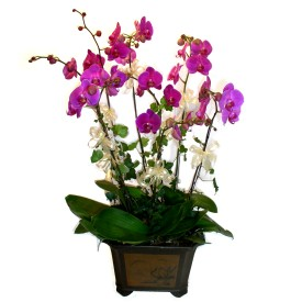 Zonguldak cicek , cicekci  4 adet orkide çiçegi