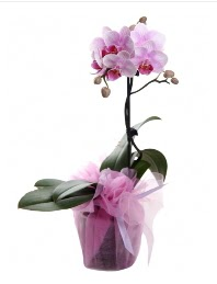 1 dal pembe orkide saksı çiçeği  Zonguldak kaliteli taze ve ucuz çiçekler
