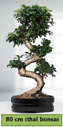 80 cm özel saksıda bonsai bitkisi  Zonguldak ucuz çiçek gönder