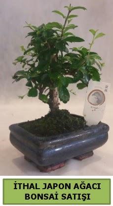 İthal japon ağacı bonsai bitkisi satışı  Zonguldak ucuz çiçek gönder