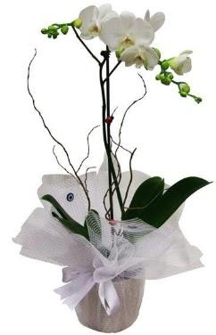Tek dallı beyaz orkide  Zonguldak cicek , cicekci