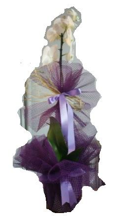 Tek dallı beyaz orkide süper kalite ithal  Zonguldak çiçek siparişi sitesi