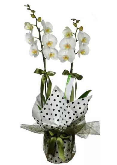 Çift Dallı Beyaz Orkide  Zonguldak 14 şubat sevgililer günü çiçek