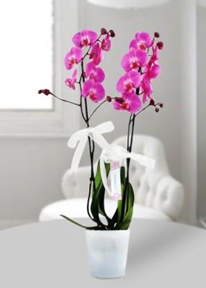 Çift dallı mor orkide  Zonguldak çiçekçiler