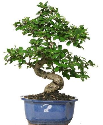 21 ile 25 cm arası özel S bonsai japon ağacı  Zonguldak ucuz çiçek gönder