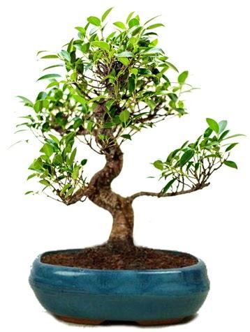 25 cm ile 30 cm aralığında Ficus S bonsai  Zonguldak çiçek gönderme sitemiz güvenlidir