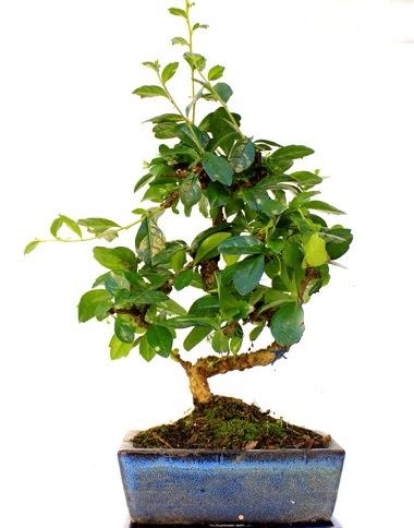 S gövdeli carmina bonsai ağacı  Zonguldak çiçek yolla  Minyatür ağaç