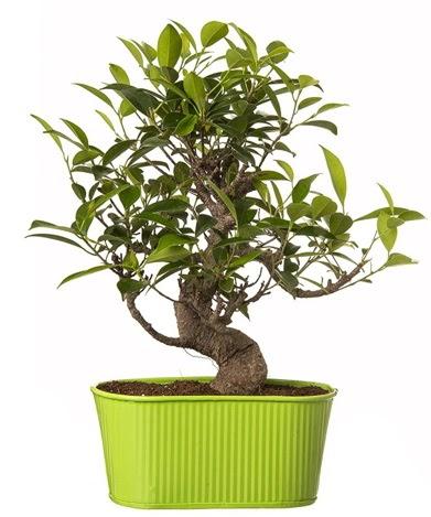 Ficus S gövdeli muhteşem bonsai  Zonguldak çiçek siparişi sitesi