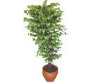 Ficus özel Starlight 1,75 cm   Zonguldak cicek , cicekci