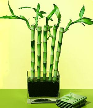 Zonguldak cicekciler , cicek siparisi  Good Harmony Lucky Bamboo camda