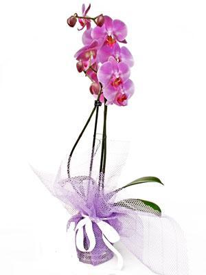 Zonguldak cicekciler , cicek siparisi  Kaliteli ithal saksida orkide