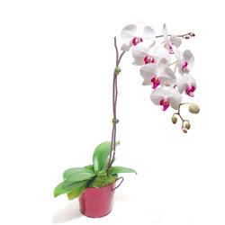 Zonguldak çiçek gönderme  Saksida orkide
