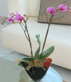 Zonguldak İnternetten çiçek siparişi  tek dal ikili orkide saksi çiçegi