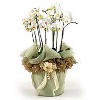 Zonguldak çiçek siparişi sitesi  3 dal orkide , saksi çiçegi , 3 kök orkide