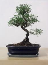 ithal bonsai saksi çiçegi  Zonguldak çiçek siparişi vermek