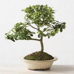 ithal bonsai saksi çiçegi  Zonguldak çiçek online çiçek siparişi