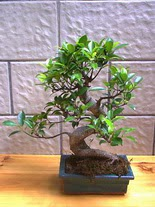 ithal bonsai saksi çiçegi  Zonguldak hediye sevgilime hediye çiçek