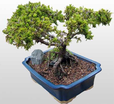ithal bonsai saksi çiçegi  Zonguldak İnternetten çiçek siparişi