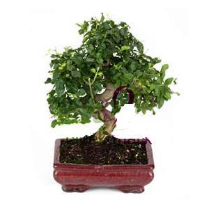 ithal bonsai saksi çiçegi  Zonguldak cicekciler , cicek siparisi