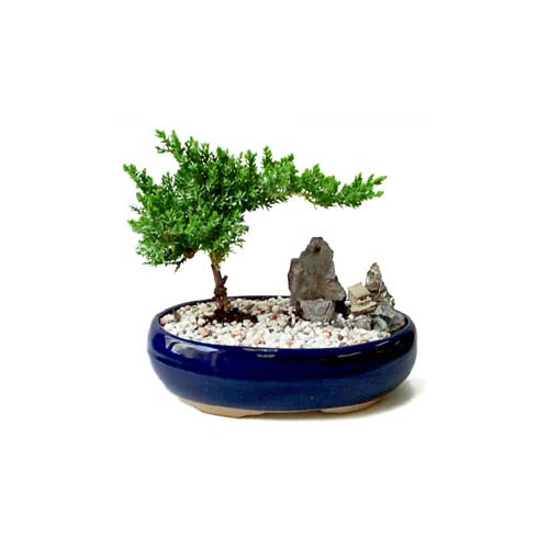 ithal bonsai saksi çiçegi  Zonguldak çiçek gönderme