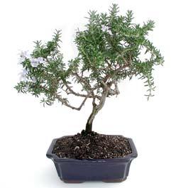 ithal bonsai saksi çiçegi  Zonguldak ucuz çiçek gönder