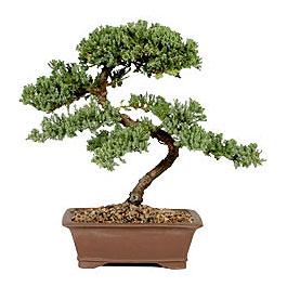 ithal bonsai saksi çiçegi  Zonguldak çiçek gönderme sitemiz güvenlidir