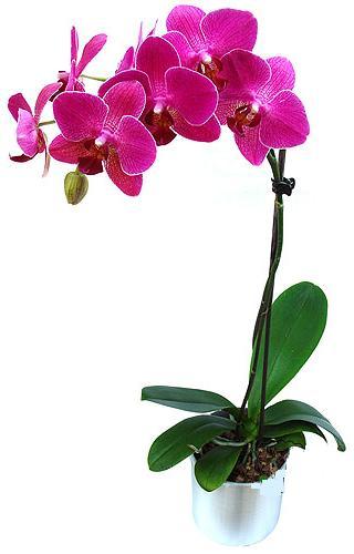 Zonguldak İnternetten çiçek siparişi  saksi orkide çiçegi