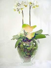 Zonguldak çiçek satışı  Cam yada mika vazoda özel orkideler