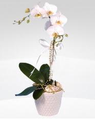 1 dallı orkide saksı çiçeği  Zonguldak online çiçekçi , çiçek siparişi
