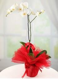 1 dal beyaz orkide saksı çiçeği  Zonguldak çiçek yolla , çiçek gönder , çiçekçi