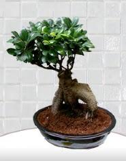 saksı çiçeği japon ağacı bonsai  Zonguldak kaliteli taze ve ucuz çiçekler