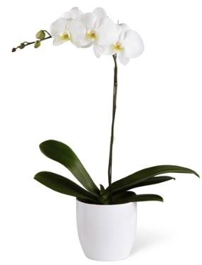 1 dallı beyaz orkide  Zonguldak 14 şubat sevgililer günü çiçek