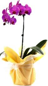 Zonguldak çiçek siparişi sitesi  Tek dal mor orkide saksı çiçeği
