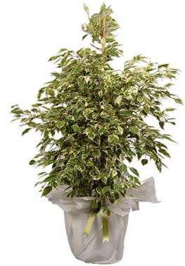 Orta boy alaca benjamin bitkisi  Zonguldak internetten çiçek satışı