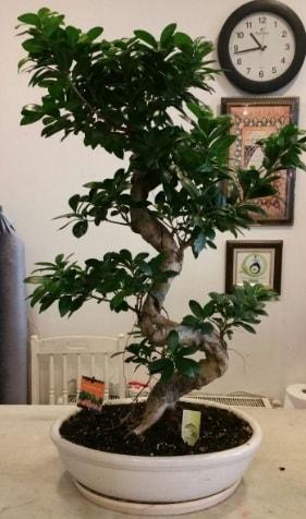 100 cm yüksekliğinde dev bonsai japon ağacı  Zonguldak çiçekçi mağazası