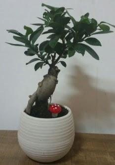 Bonsai japon ağacı saksı çiçeği  Zonguldak çiçek gönderme sitemiz güvenlidir