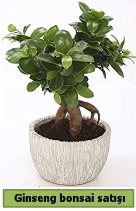 Ginseng bonsai japon ağacı satışı  Zonguldak ucuz çiçek gönder
