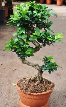 Orta boy bonsai saksı bitkisi  Zonguldak internetten çiçek siparişi