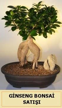 İthal Ginseng bonsai satışı japon ağacı  Zonguldak çiçek siparişi sitesi