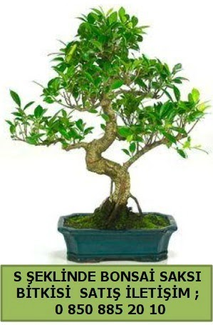 İthal S şeklinde dal eğriliği bonsai satışı  Zonguldak çiçek gönderme