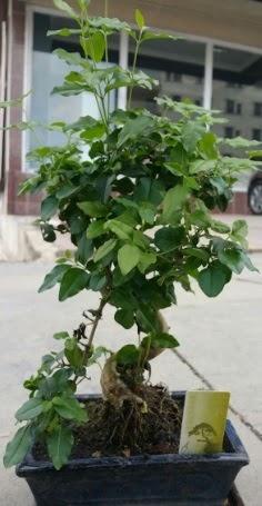 Bonsai japon ağacı saksı bitkisi  Zonguldak çiçek siparişi vermek