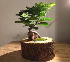 Doğal kütükte Bonsai japon ağacı satışı  Zonguldak internetten çiçek satışı