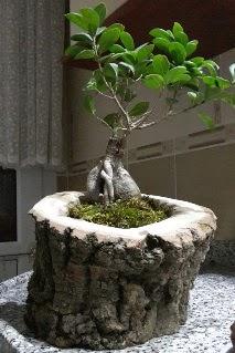 Ahşap kütük içerisinde ginseng bonsai  Zonguldak internetten çiçek siparişi