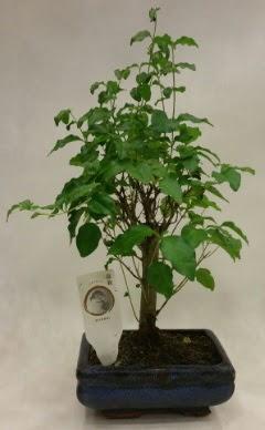 Minyatür bonsai japon ağacı satışı  Zonguldak ucuz çiçek gönder