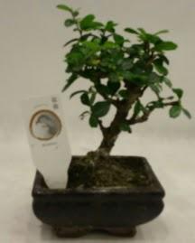 Küçük minyatür bonsai japon ağacı  Zonguldak çiçek gönderme