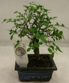 Minyatür ithal japon ağacı bonsai bitkisi  Zonguldak çiçek satışı