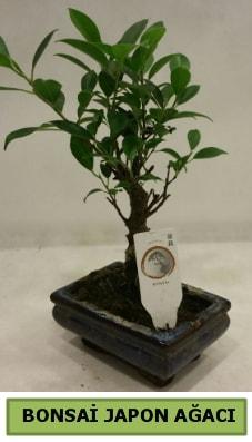 Bonsai japon ağacı saksı bitkisi  Zonguldak çiçek servisi , çiçekçi adresleri