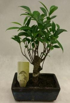 Japon ağacı bonsai bitkisi satışı  Zonguldak ucuz çiçek gönder