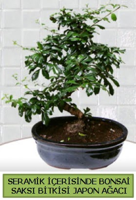 Seramik vazoda bonsai japon ağacı bitkisi  Zonguldak çiçek siparişi sitesi