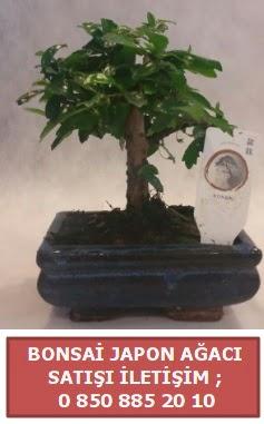 Japon ağacı minyaür bonsai satışı  Zonguldak çiçek satışı